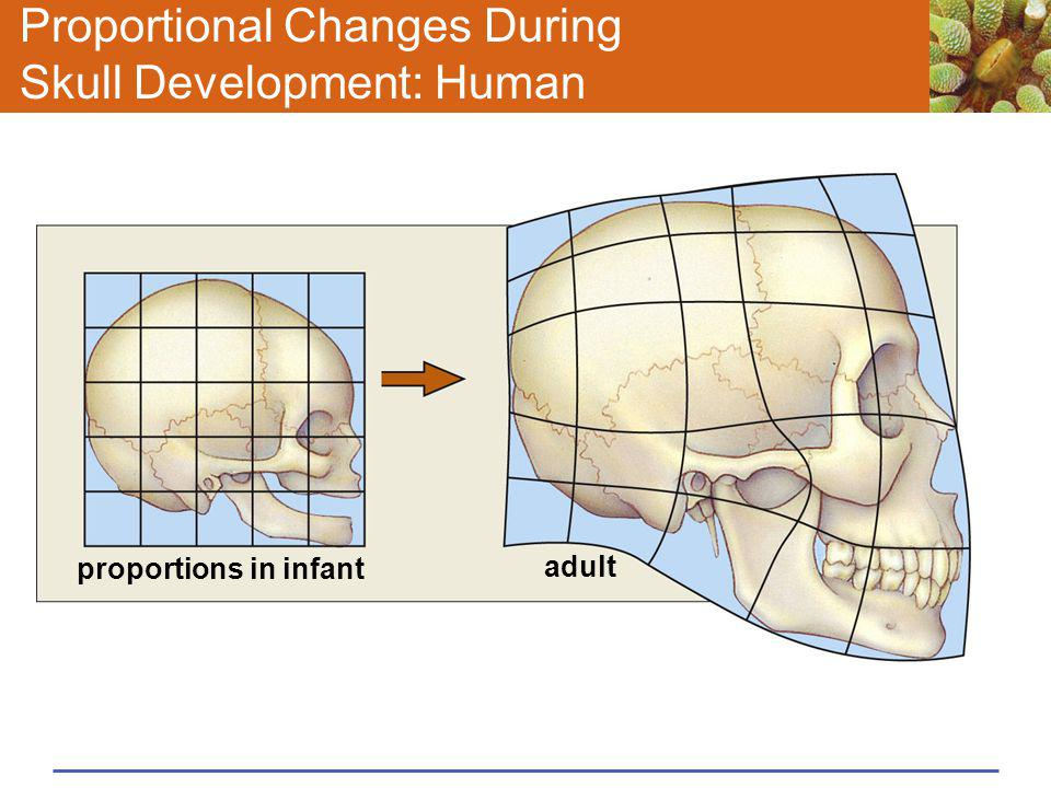 Proportional Changes During Skull Development: Human