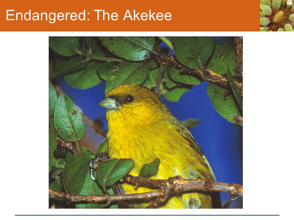 Endangered: The Akekee
