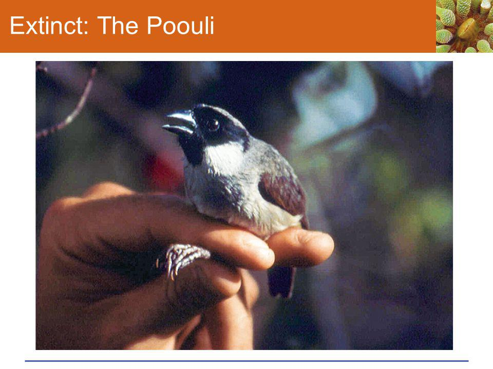 Extinct: The Poouli This male poouli (Melamprosops phaeosoma)—