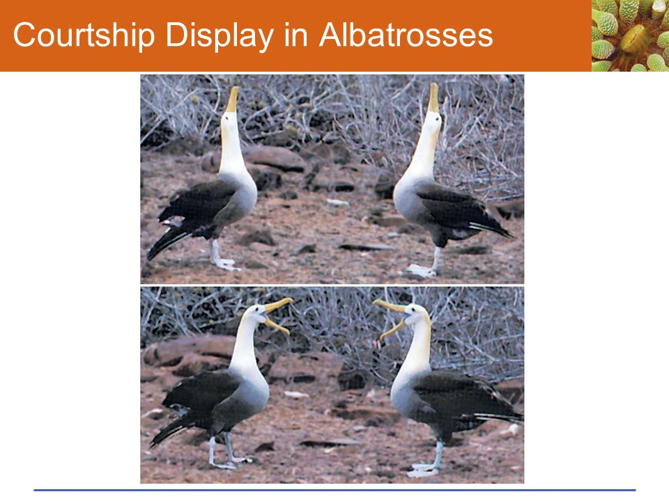 Courtship Display in Albatrosses