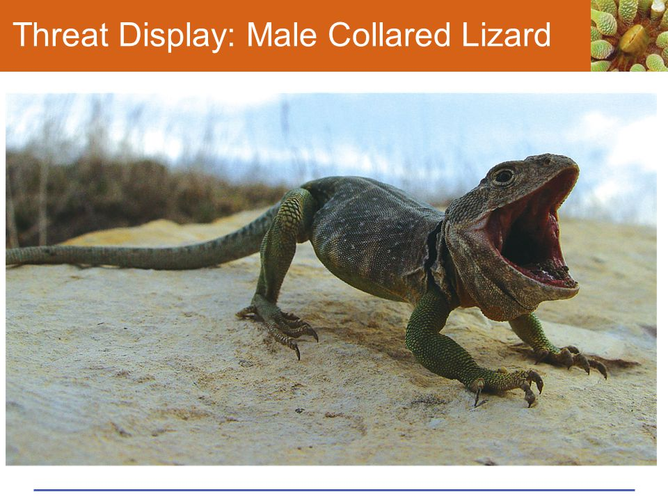 Threat Display: Male Collared Lizard