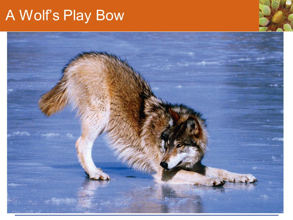 A Wolf's Play Bow Figure 43.16 A wolf's play bow tells another wolf that its next behavior is meant as play, not aggression.