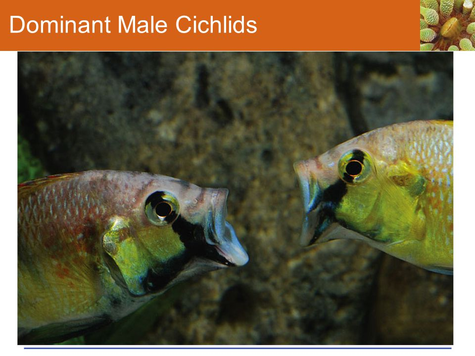 Dominant Male Cichlids