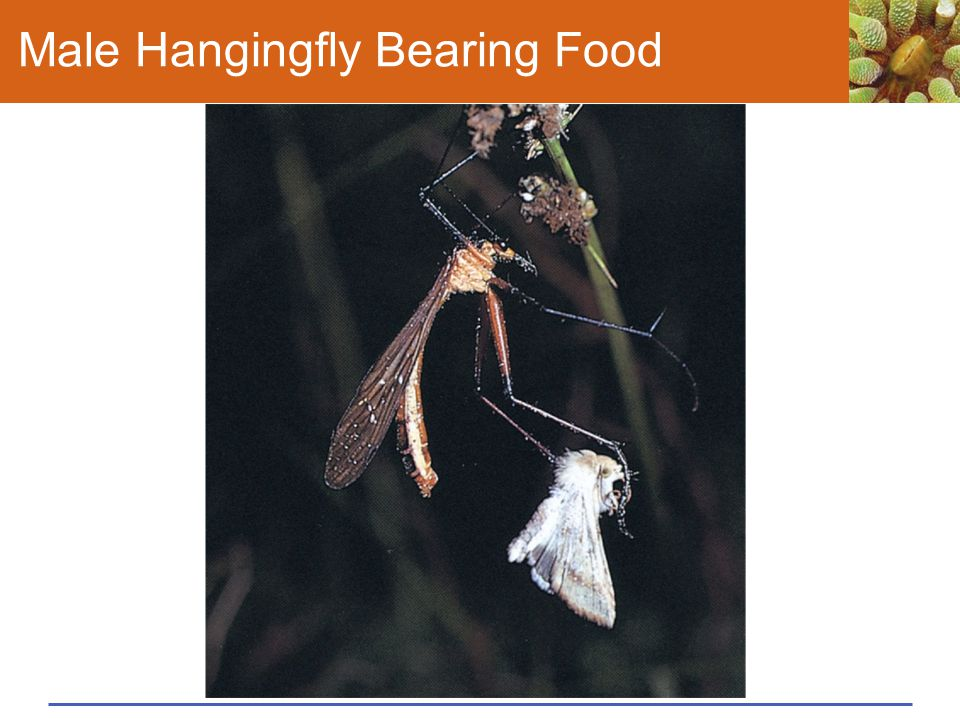 Male Hangingfly Bearing Food