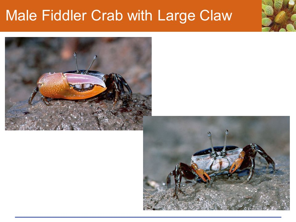 Male Fiddler Crab with Large Claw