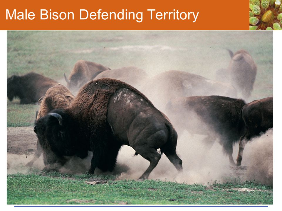 Male Bison Defending Territory