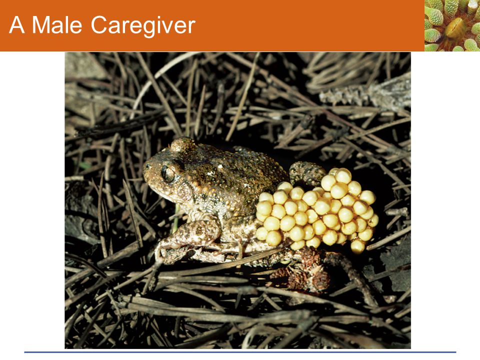 A Male Caregiver Figure 43.19 Caring for offspring.