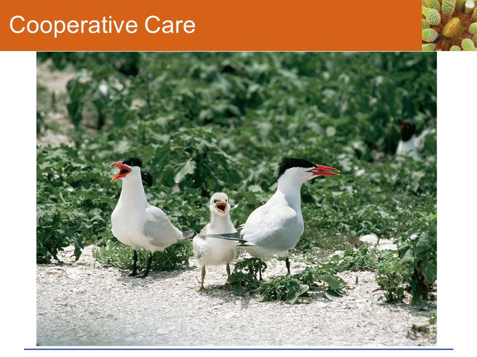 Cooperative Care Figure 43.19 Caring for offspring.