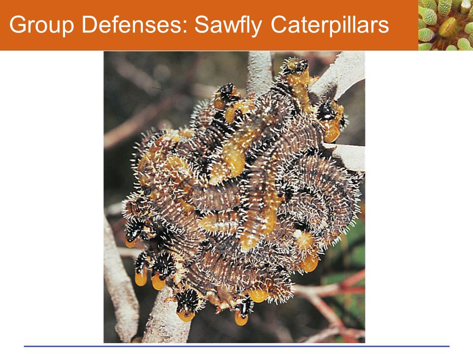 Group Defenses: Sawfly Caterpillars