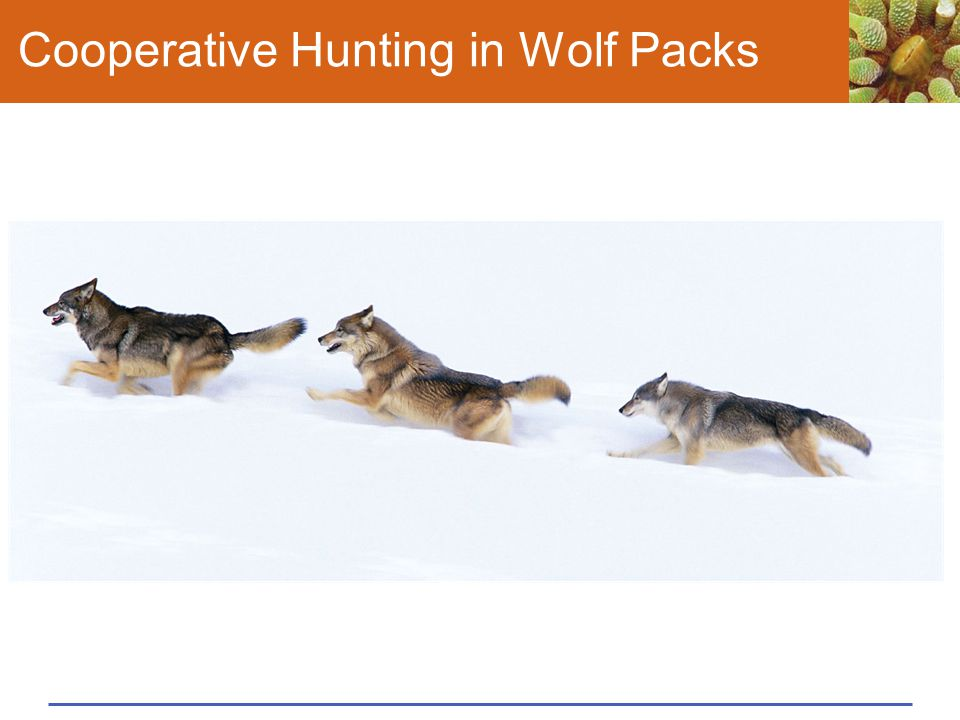 Cooperative Hunting in Wolf Packs