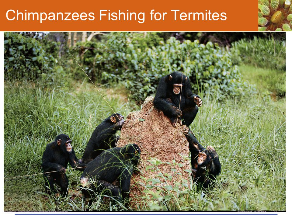 Chimpanzees Fishing for Termites