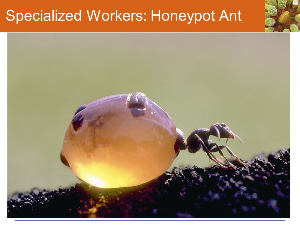 Specialized Workers: Honeypot Ant