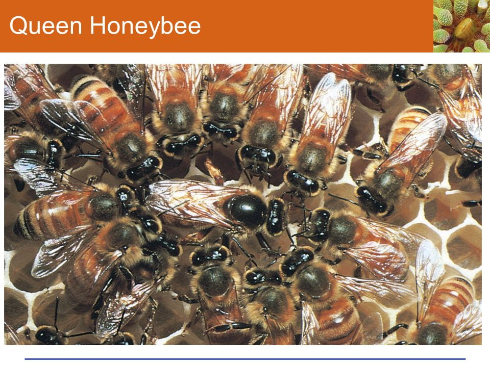 Queen Honeybee Figure 43.25 Three queens, fertile females in species that have a reproductive division of labor.