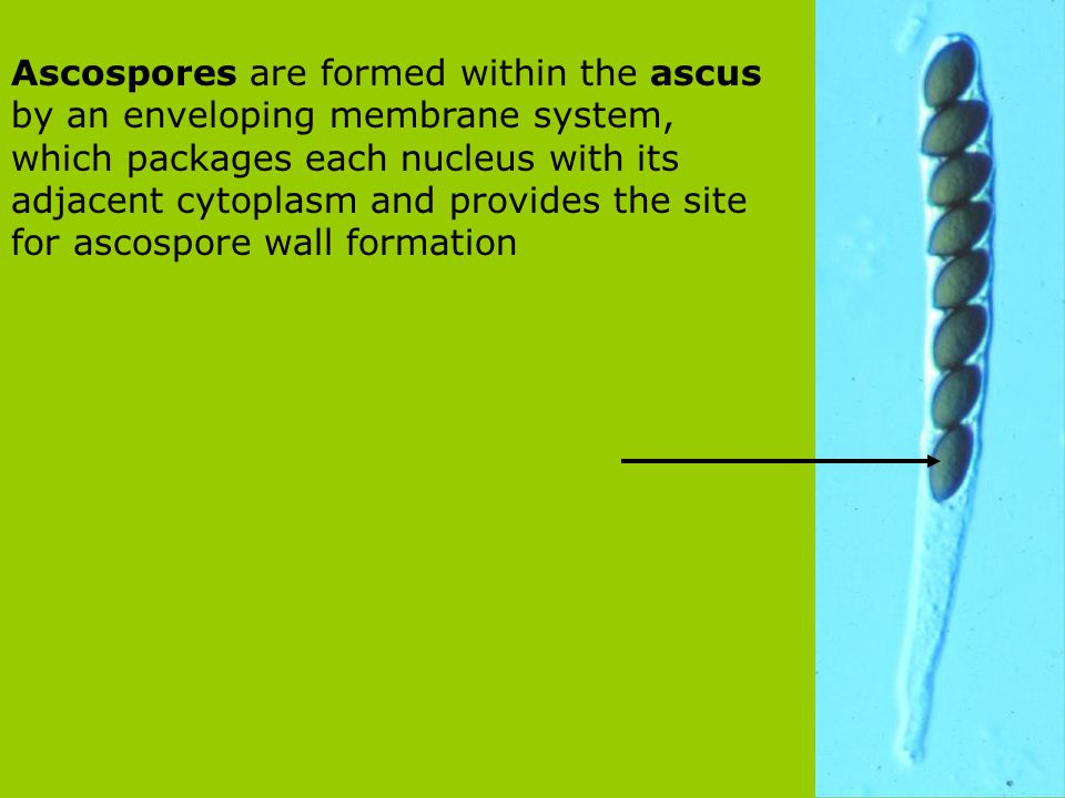 Ascospores are formed within the ascus by an enveloping membrane system, which packages each nucleus with its adjacent cytoplasm and provides the site for ascospore wall formation