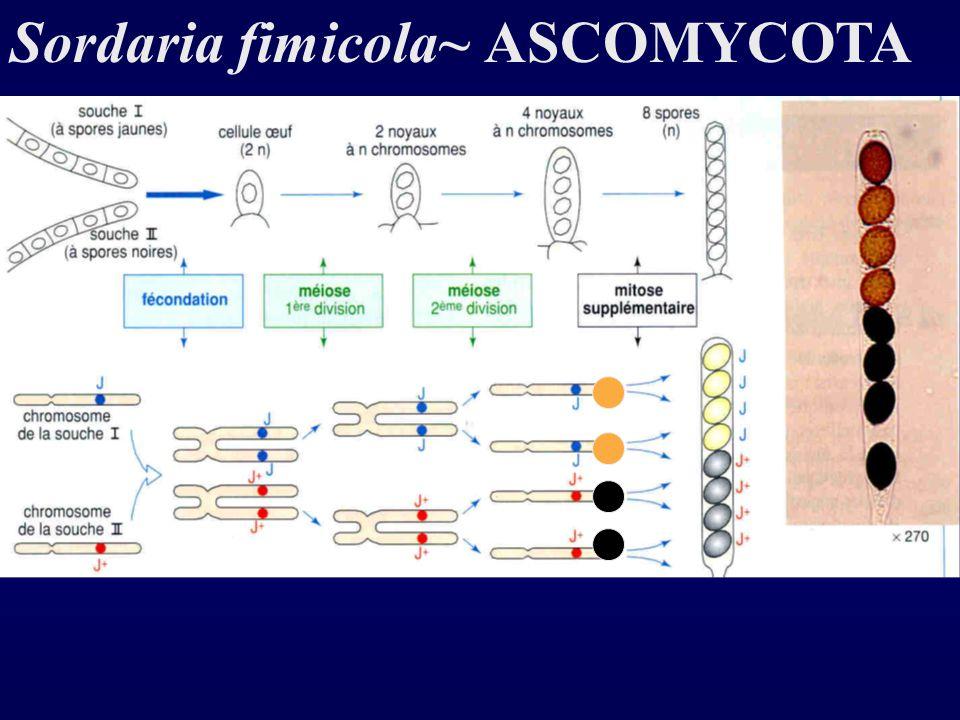 Sordaria fimicola~ ASCOMYCOTA