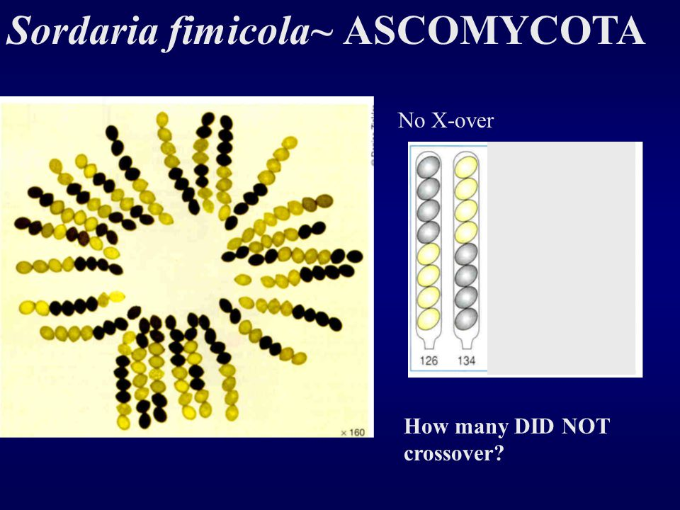 sordaria fimicola crossing over during meiosis Sordaria squashes can give us information about crossing over during meiosis if  no crossing over then there is a 4:4 pattern 4 black spores, and 4 tan spores.