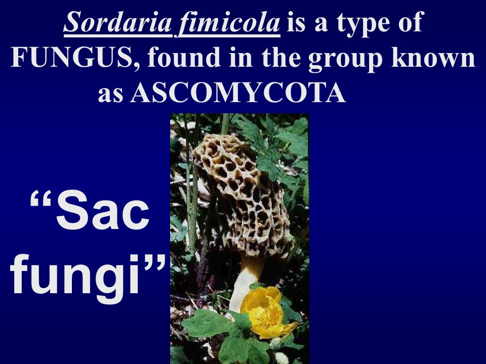 Sordaria fimicola is a type of FUNGUS, found in the group known as ASCOMYCOTA
