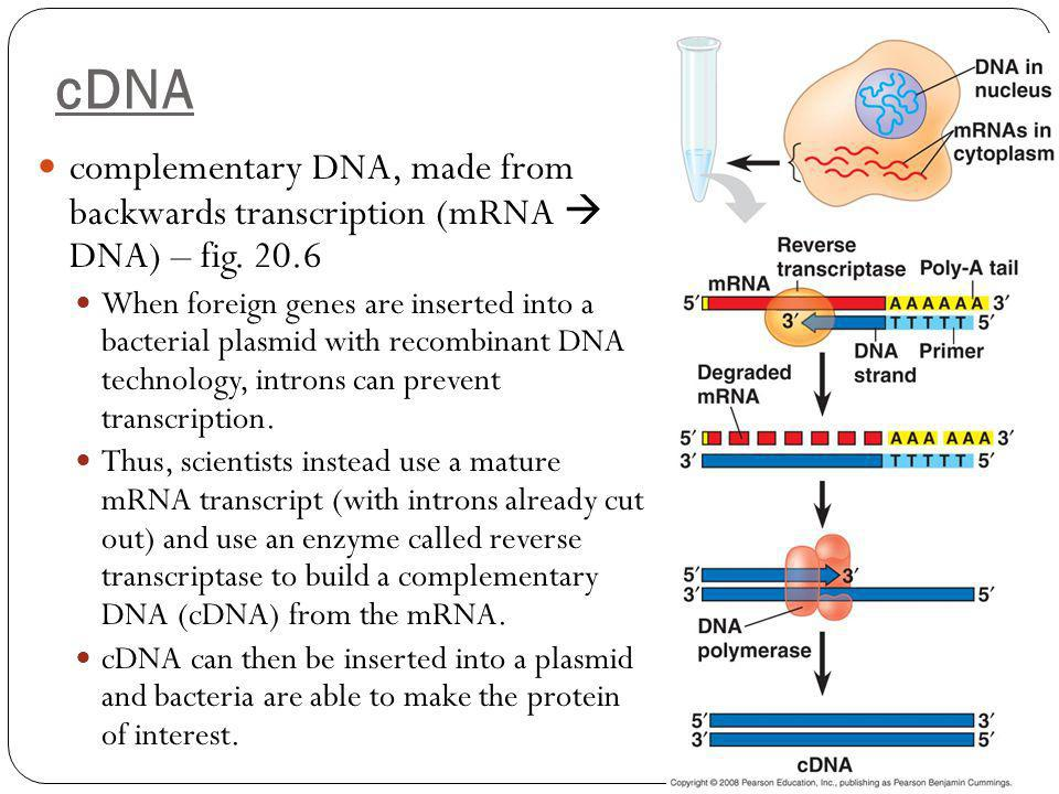 cDNA complementary DNA, made from backwards transcription (mRNA  DNA) – fig. 20.6.