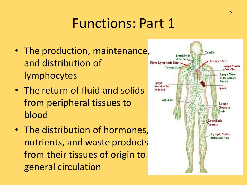 Functions: Part 1 2. The production, maintenance, and distribution of lymphocytes. The return of fluid and solids from peripheral tissues to blood.