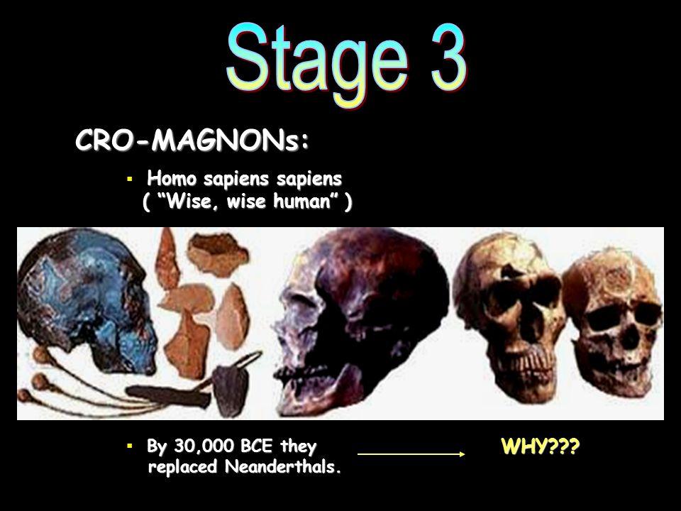 Stage 3 CRO-MAGNONs: Homo sapiens sapiens ( Wise, wise human )