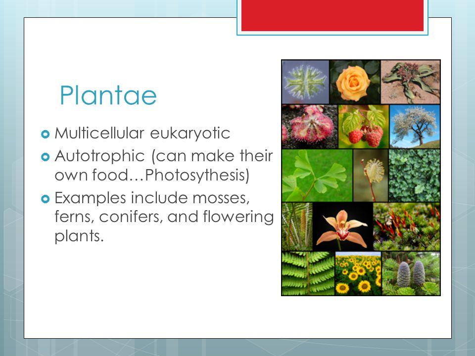 Plantae Multicellular eukaryotic