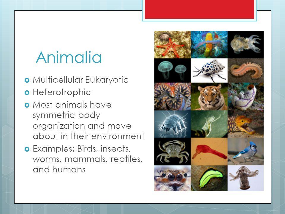 Animalia Multicellular Eukaryotic Heterotrophic