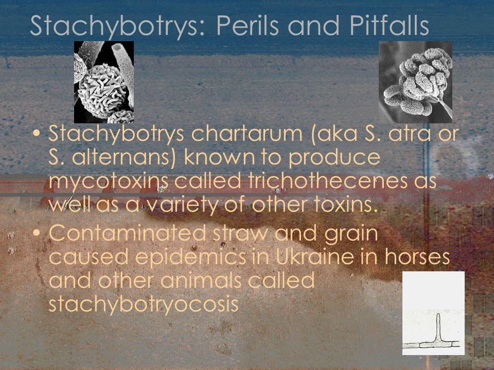 Stachybotrys: Perils and Pitfalls