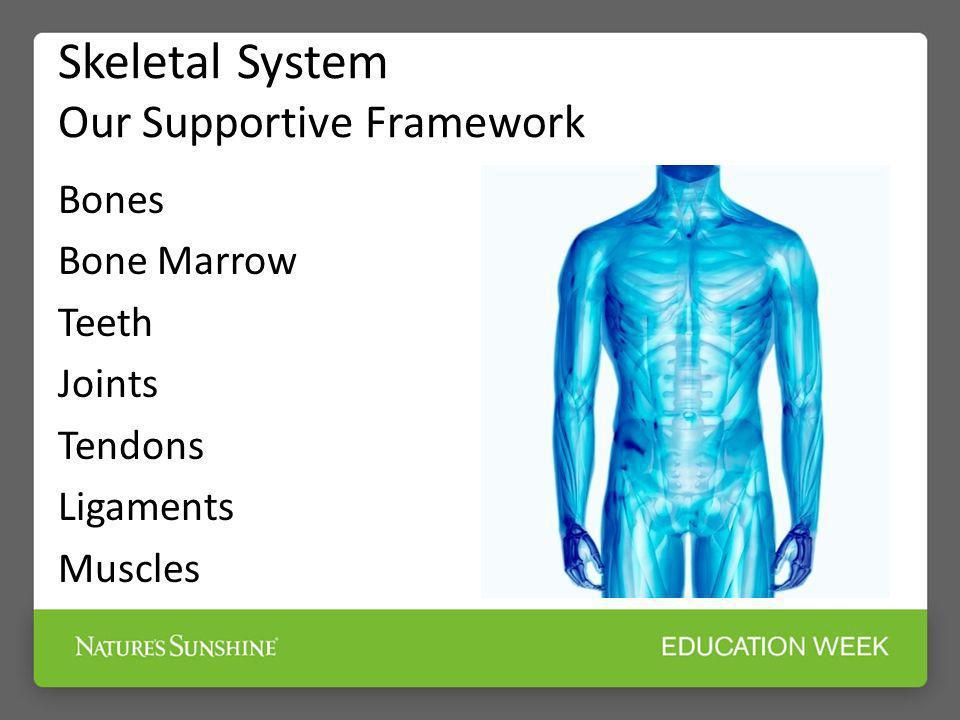 Skeletal System Our Supportive Framework