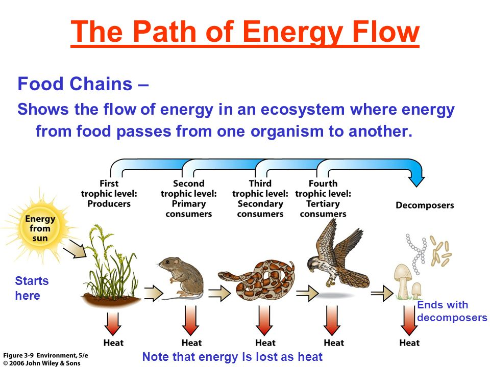 The Path of Energy Flow Food Chains –