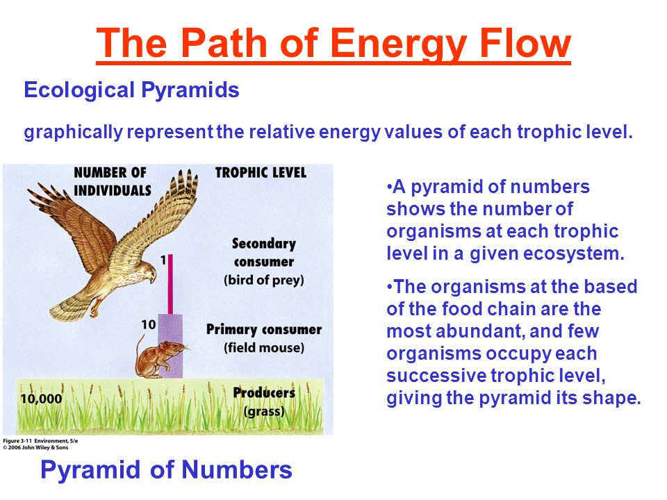 The Path of Energy Flow Pyramid of Numbers Ecological Pyramids