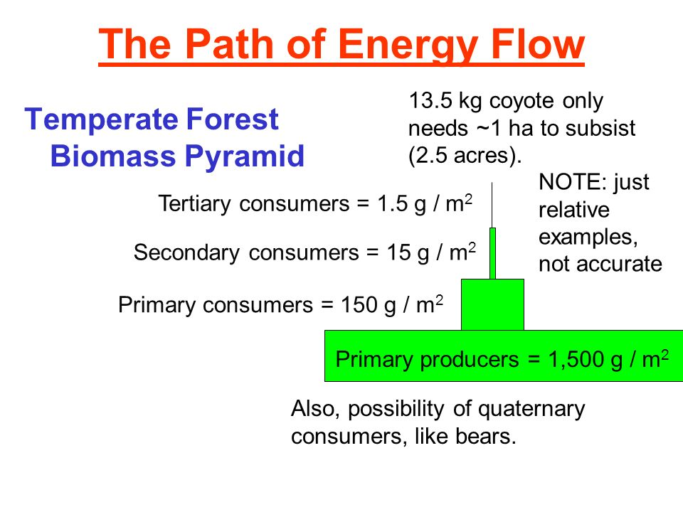 The Path of Energy Flow Temperate Forest Biomass Pyramid