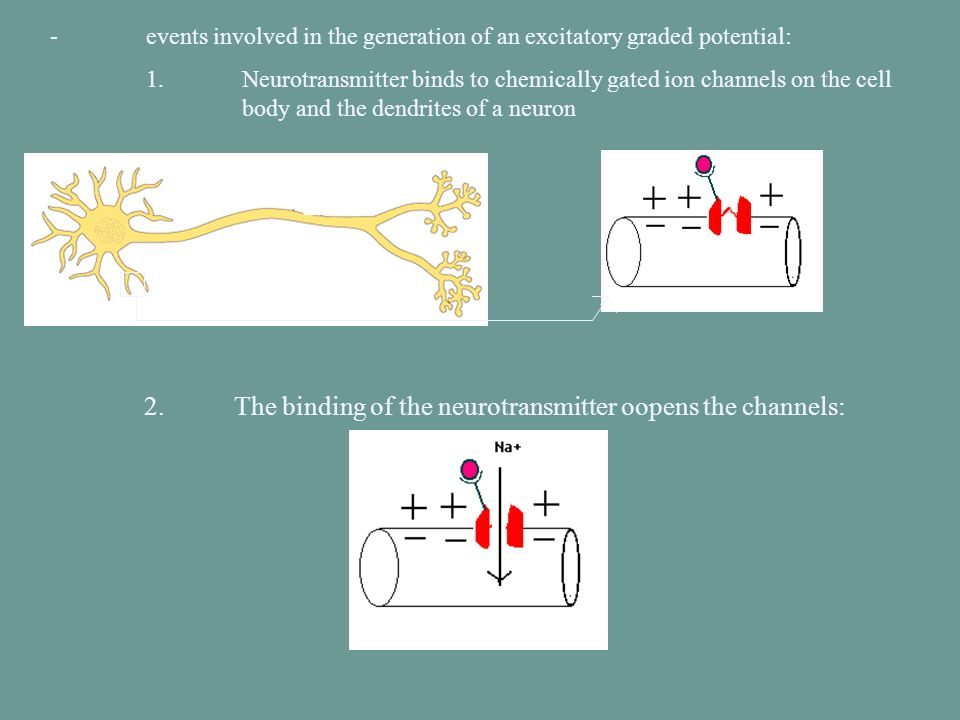- events involved in the generation of an excitatory graded potential: