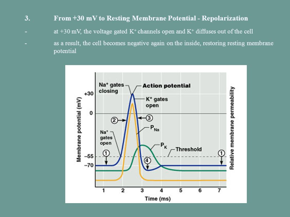 3. From +30 mV to Resting Membrane Potential - Repolarization