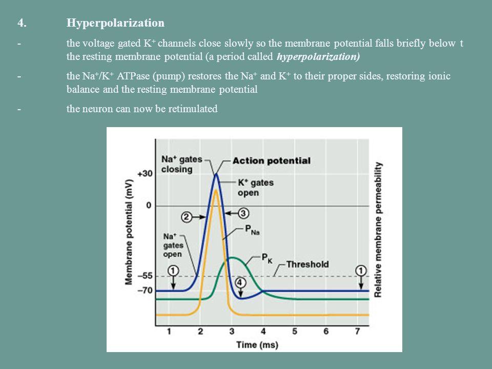 4. Hyperpolarization