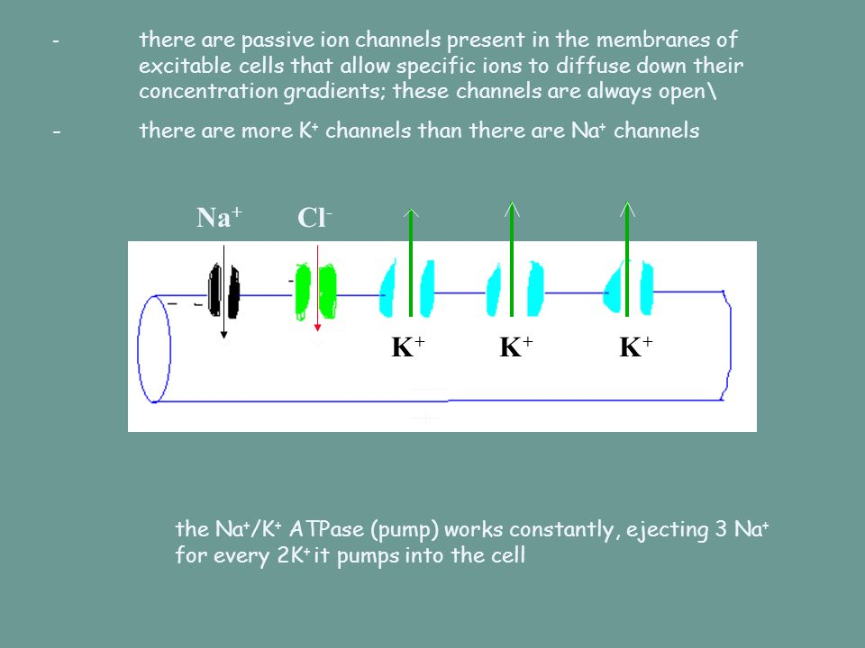 -. there are passive ion channels present in the membranes of
