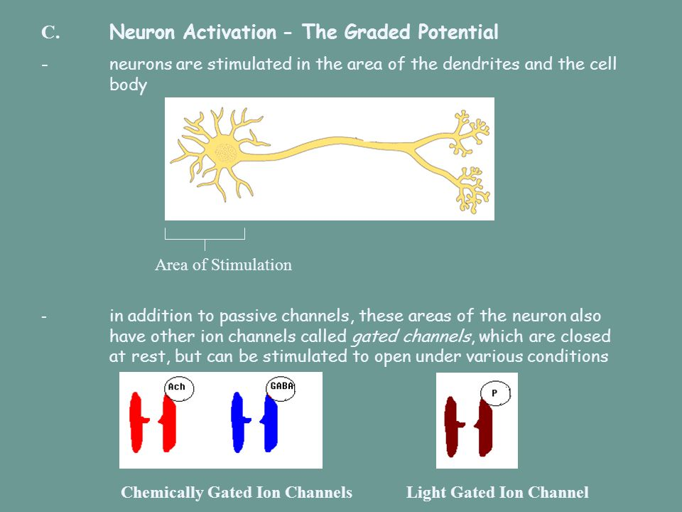C. Neuron Activation - The Graded Potential