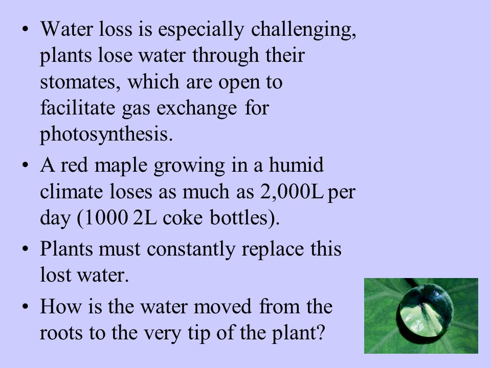 Water loss is especially challenging, plants lose water through their stomates, which are open to facilitate gas exchange for photosynthesis.