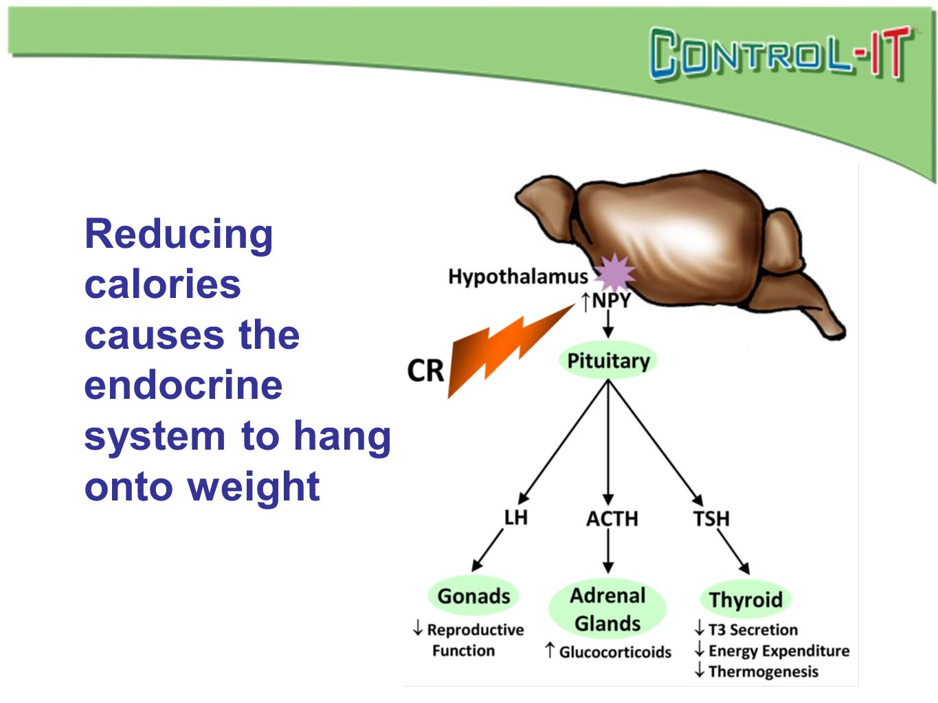 Reducing calories causes the endocrine system to hang onto weight