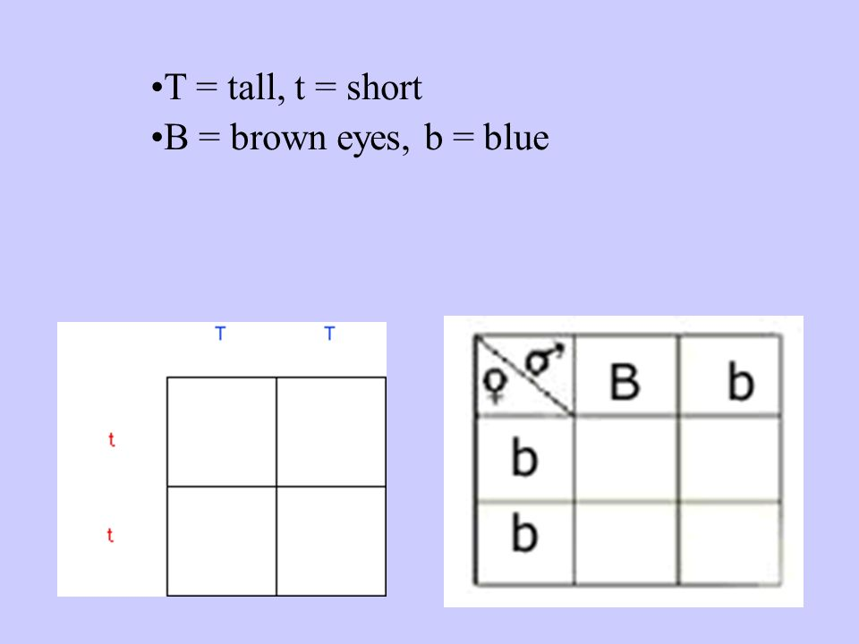 T = tall, t = short B = brown eyes, b = blue
