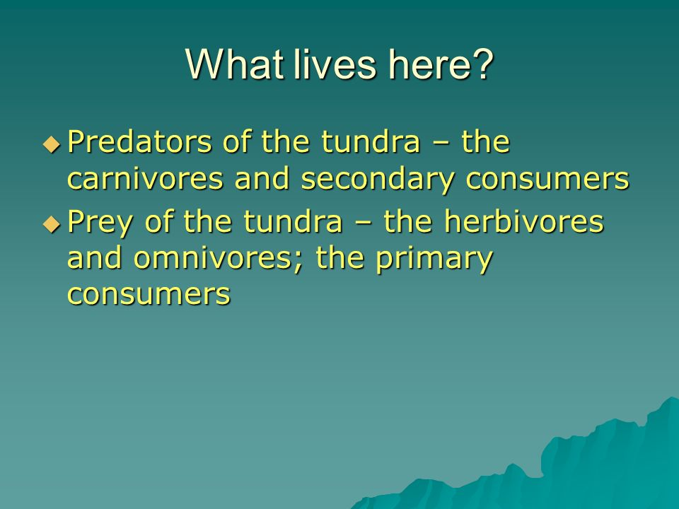What lives here Predators of the tundra – the carnivores and secondary consumers.