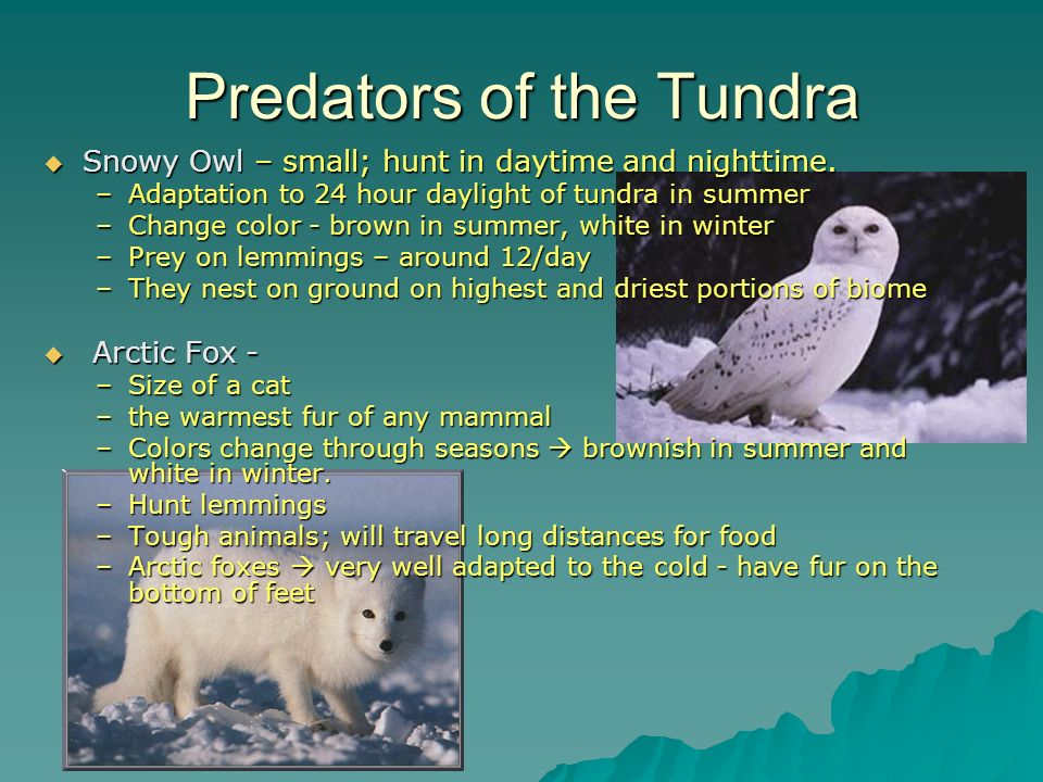 Predators of the Tundra
