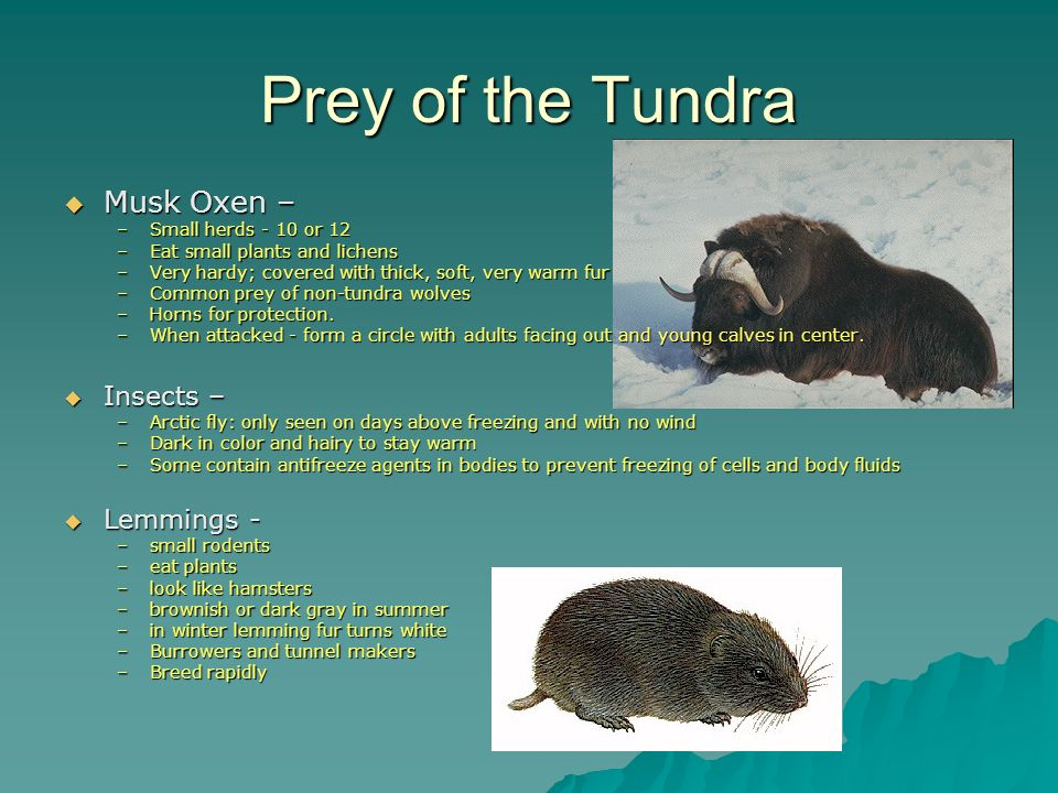 Prey of the Tundra Musk Oxen – Insects – Lemmings -
