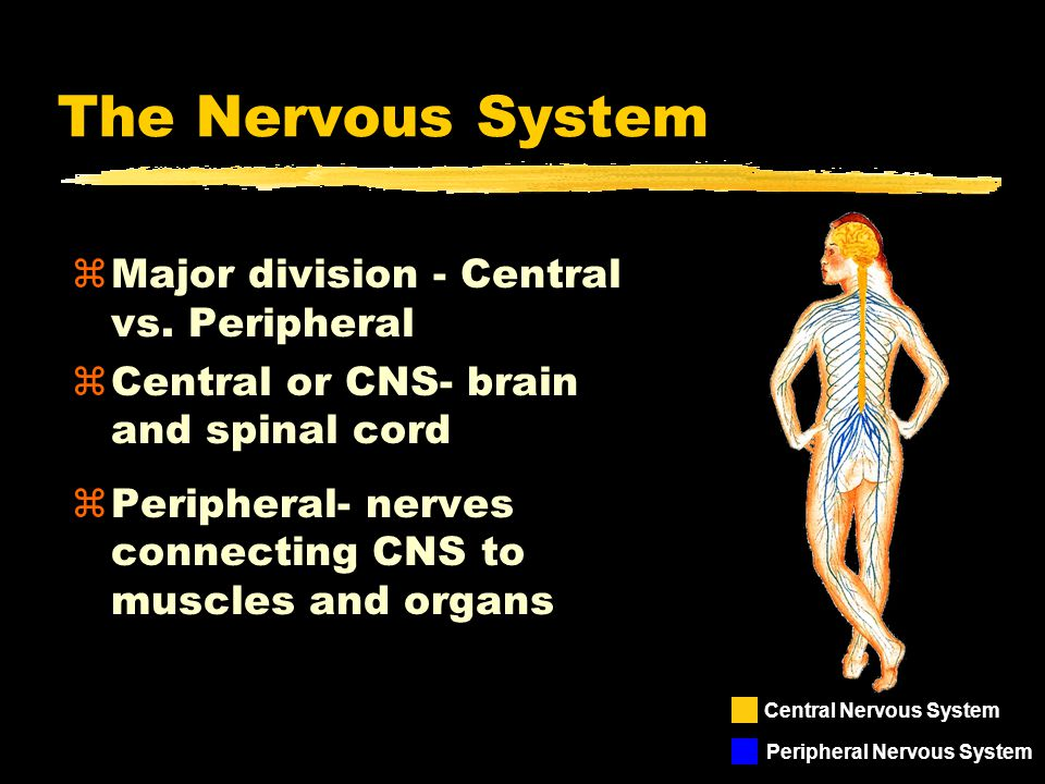 The Nervous System Major division - Central vs. Peripheral