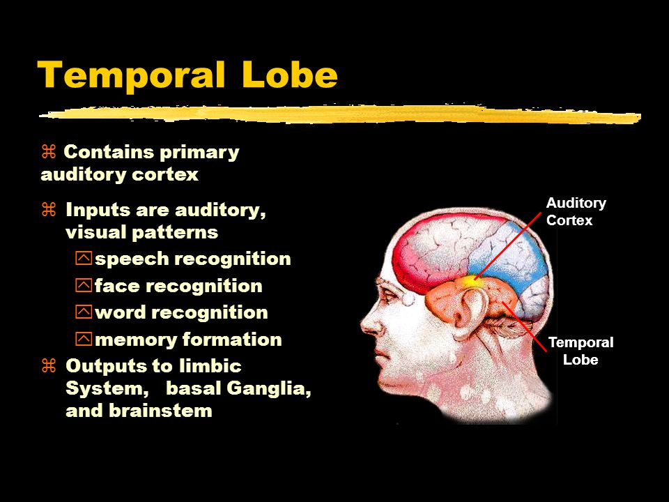 Temporal Lobe Contains primary auditory cortex