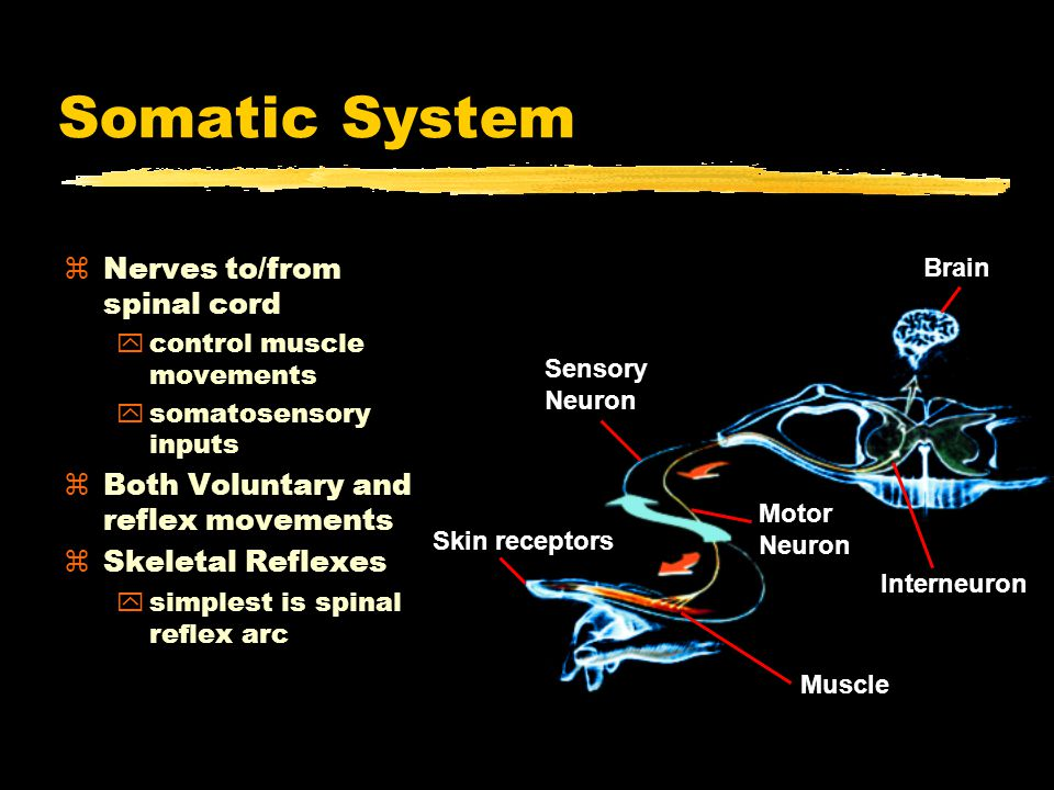 Somatic System Nerves to/from spinal cord