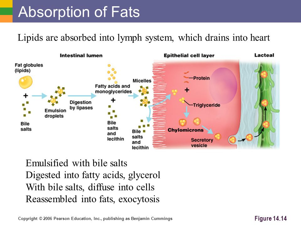 Absorption of Fats Lipids are absorbed into lymph system, which drains into heart. Emulsified with bile salts.