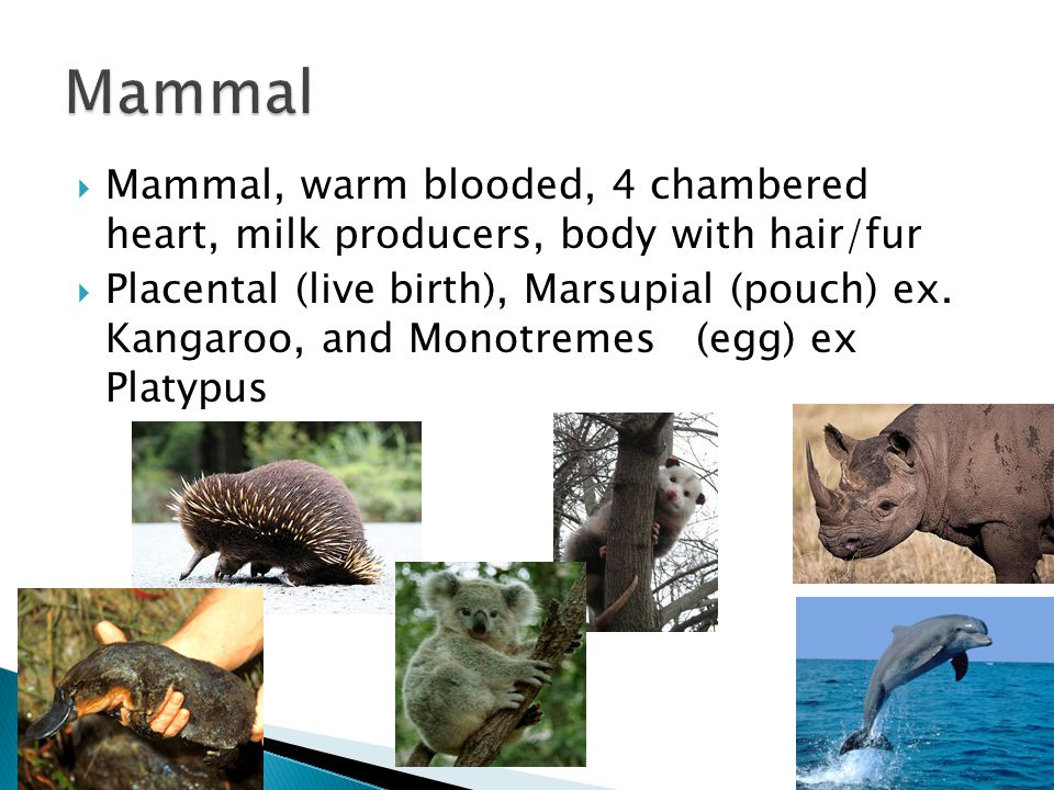Mammal Mammal, warm blooded, 4 chambered heart, milk producers, body with hair/fur.