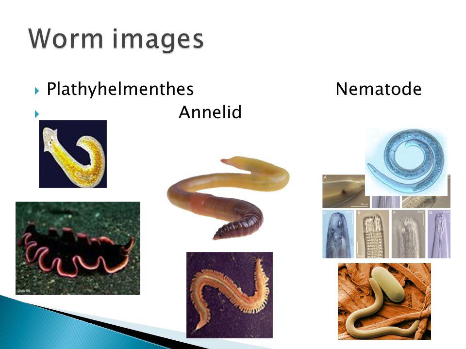 Worm images Plathyhelmenthes Nematode Annelid