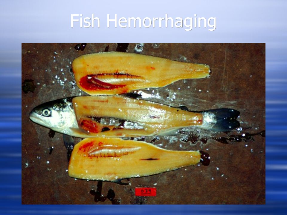 Fish Hemorrhaging Level Two Level Three