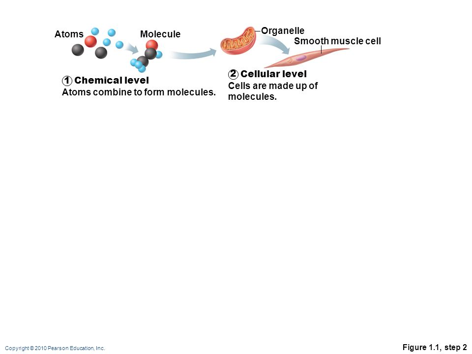Cellular level Cells are made up of molecules. 1